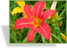 Taglilie, Hemerocallis hybride 'Crimson Pirate'
