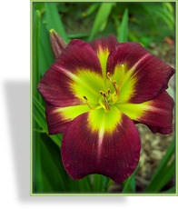 Taglilie, Hemerocallis hybride 'Night Beacon'