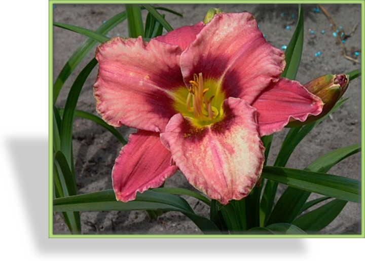 Taglilie, Hemerocallis hybride 'Always Afternoon'