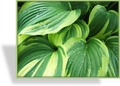 Funkie, Blaue Goldrandfunkie, Hosta hybride 'Twilight'