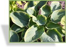 Funkie, Blaue Goldrandfunkie, Hosta sieboldiana 'Frances Williams'