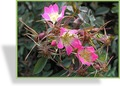 Rose, Wildrose, Bereifte Rose, Rosa glauca