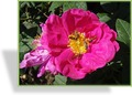 Rose, Strauchrose, Rosa gallica officinalis