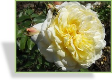 Rose, Strauchrose, Rosa 'Yellow Romantica'