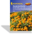 Studentenblume Mowgli Orange, Kiepenkerl